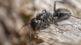 What Attracts Carpenter Ants?