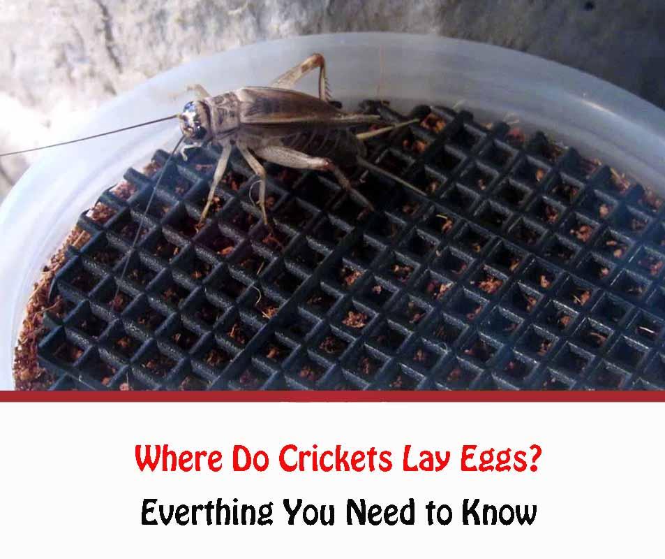 Where Do Crickets Lay Eggs?