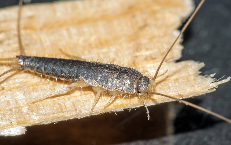 Where To Look For Silverfish Droppings
