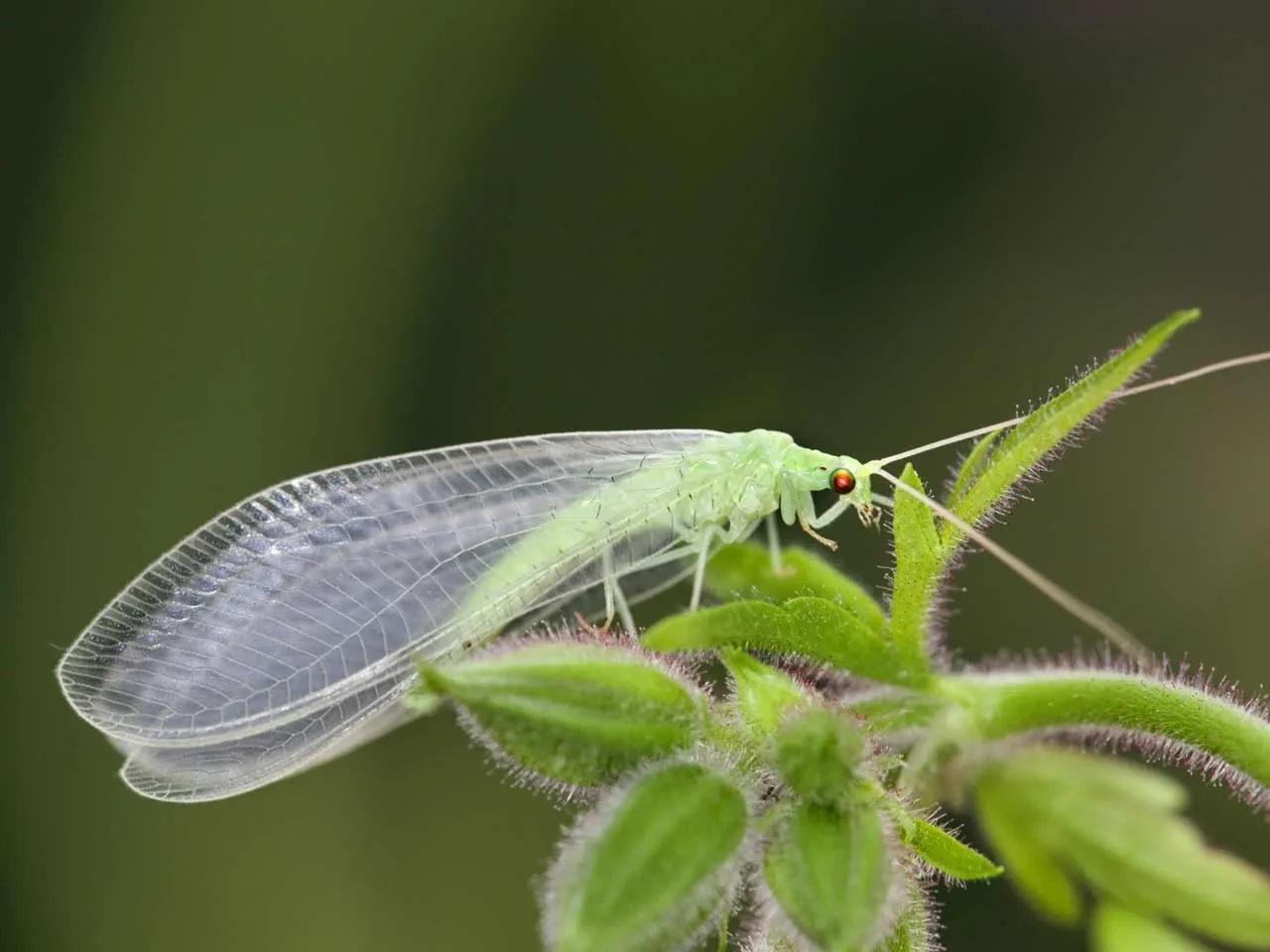Where do Green lacewings lay their eggs