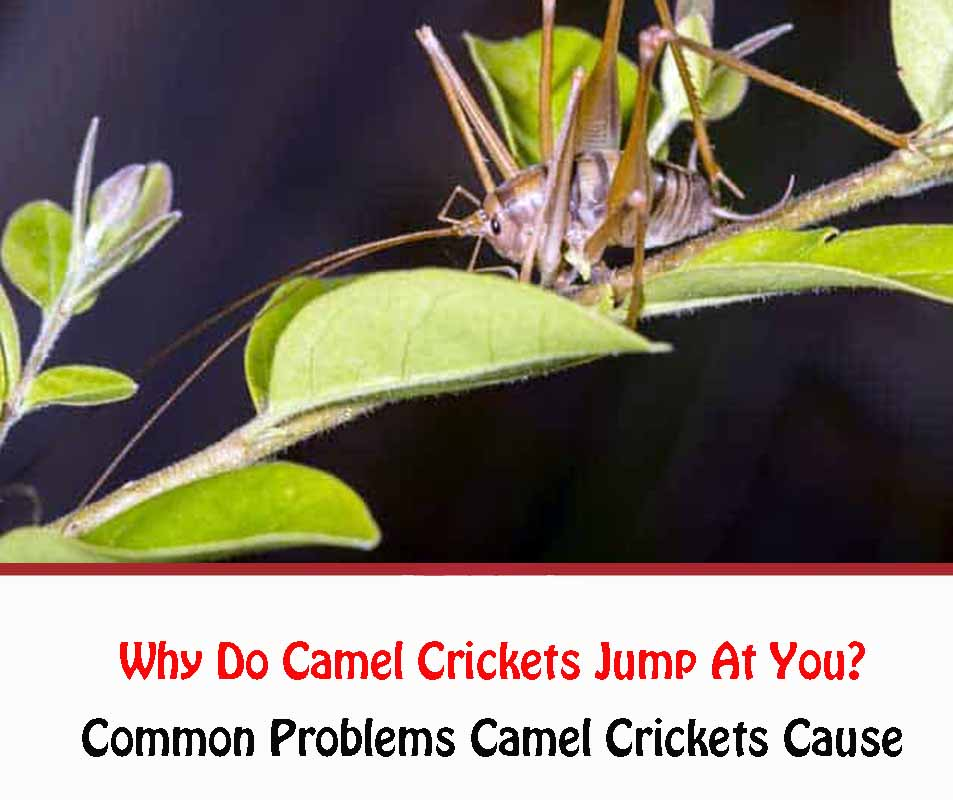 Why Do Camel Crickets Jump At You