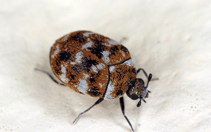 Why Do Carpet Beetles Spread So Fast - Image By romneypestcontrol