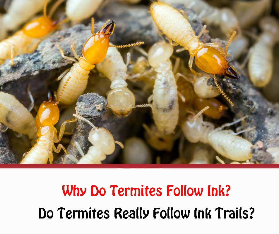 Why Do Termites Follow Ink