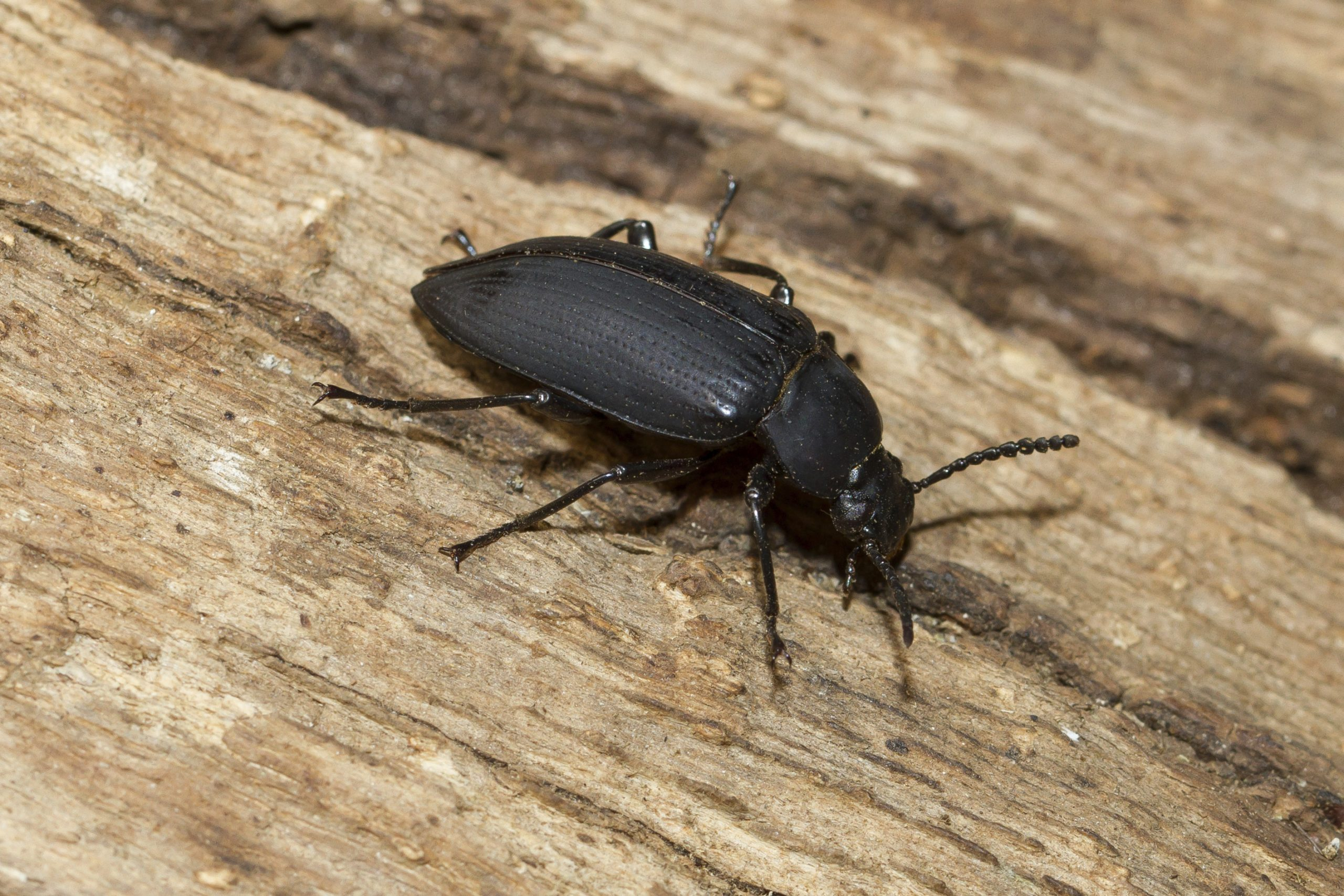Why Do you So many house beetles in your house