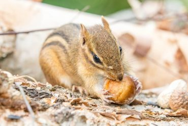 How to Get Rid of Chipmunks in Garage Naturally