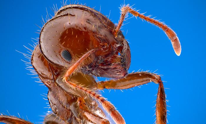 ants on hibiscus