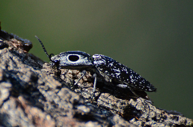 Are Click Beetles Bad