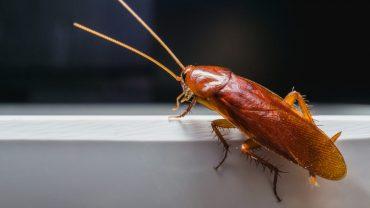 Does Rubbing Alcohol Kill Roaches?