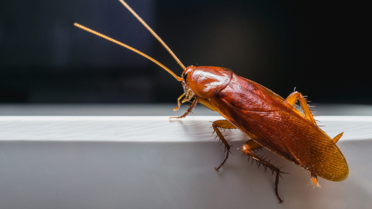Are Roaches Attracted to Rubbing Alcohol?