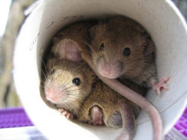 How To Get Rid Of Mice In Dryer Vents Naturally