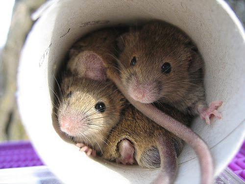 Can Mice Get Through the Dryer Vents