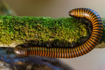 What Is the Difference Between Centipedes and Millipedes?
