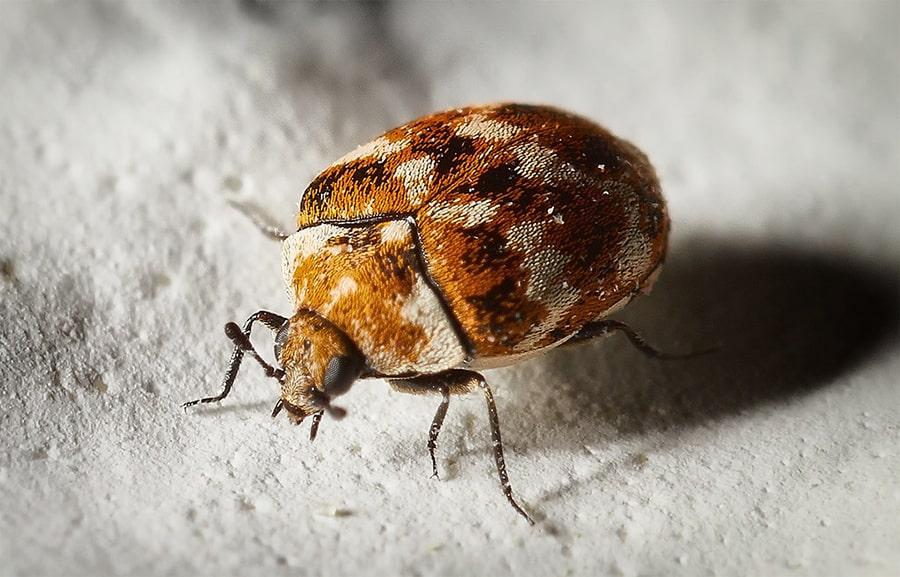Do Carpet Beetles live in walls?