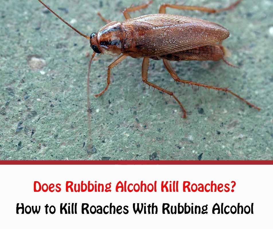 Does Rubbing Alcohol Kill Roaches