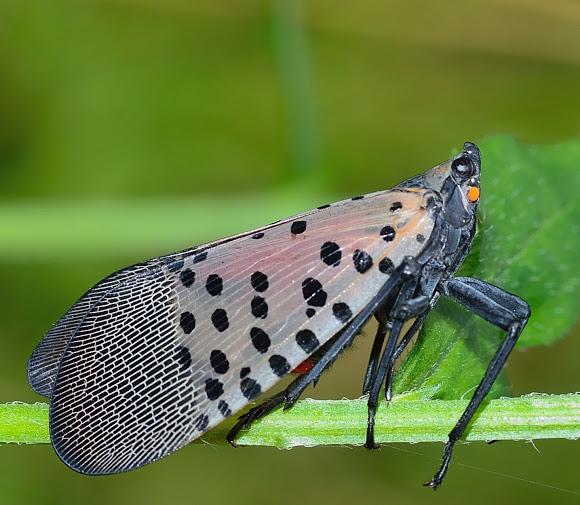 Does Vinegar Kill Spotted Lantern Fly Nymphs