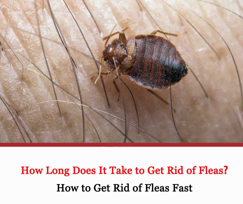 How Long Does It Take to Get Rid of Fleas 2021