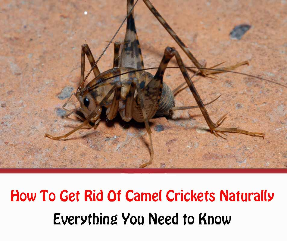 How To Get Rid Of Camel Crickets Naturally 2021