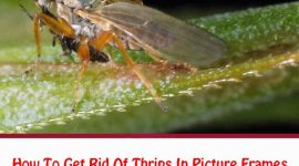 How To Get Rid Of Thrips In Picture Frames