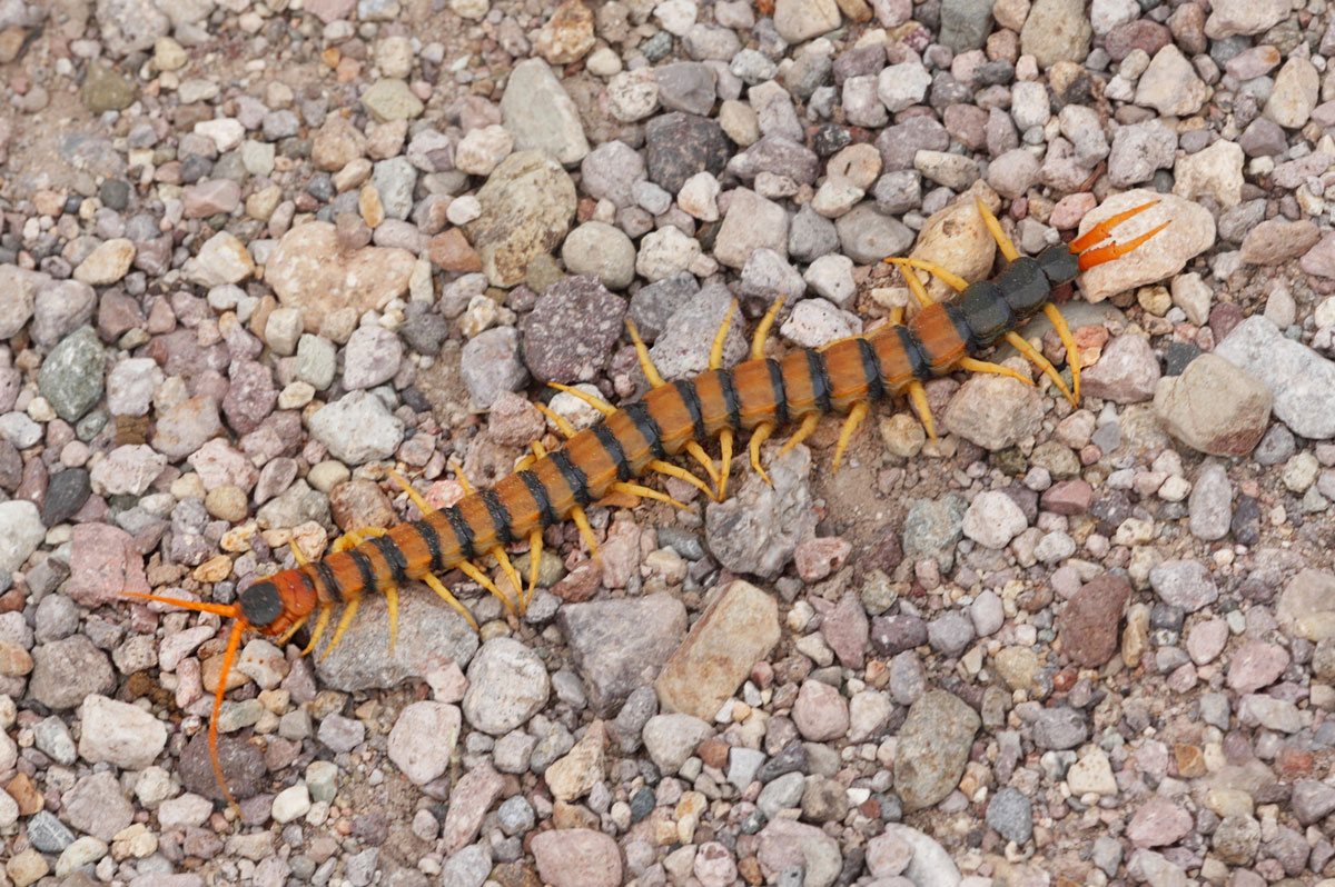 How are a Centipede's Legs Important?