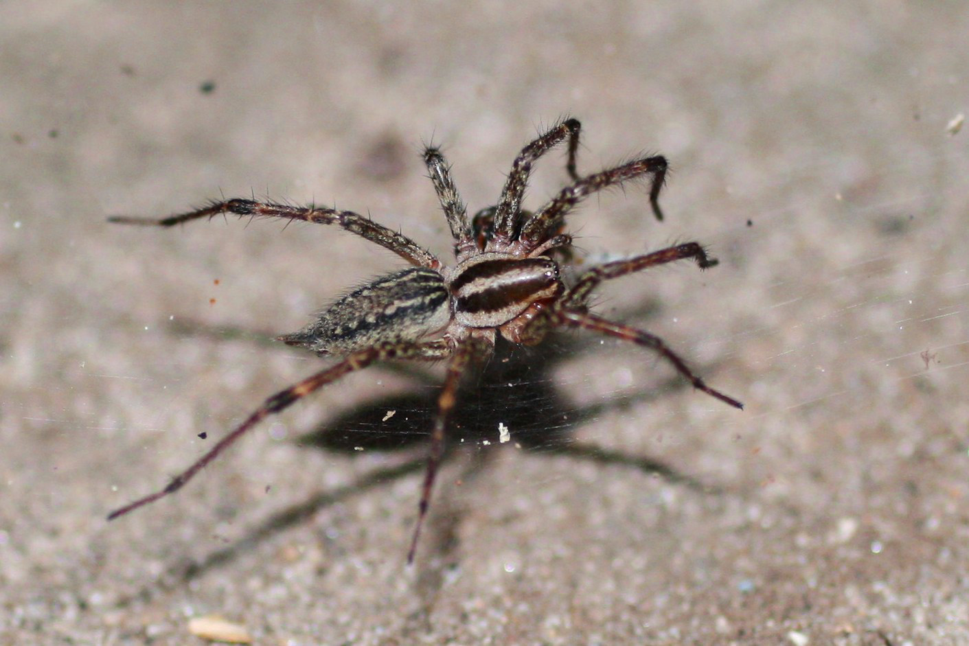 How to Identify Grass Spiders