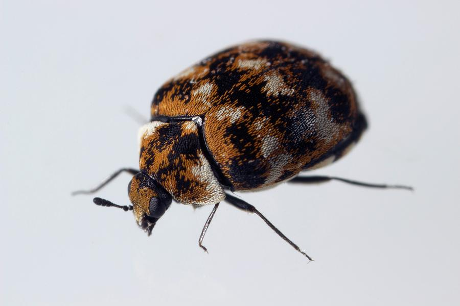 How to Trap Carpet Beetles