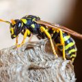How Fast Can Wasps Fly?