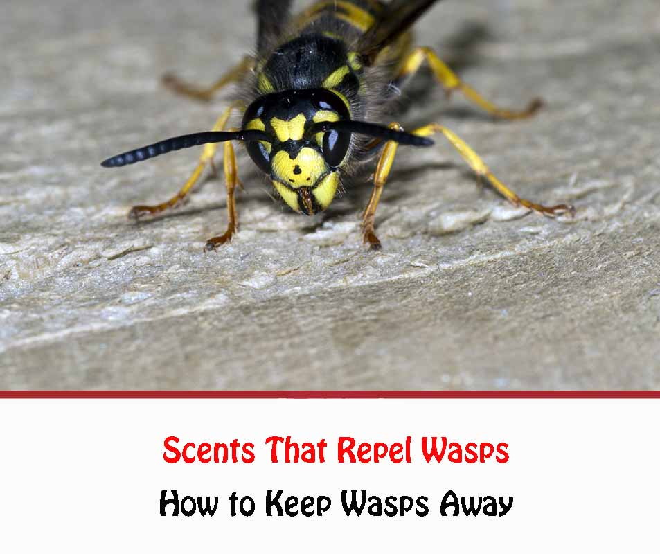 Scents That Repel Wasps