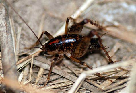 Ways To Get Rid Of Camel Crickets Naturally