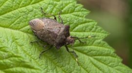How To Get Rid Of Chinch Bugs Naturally