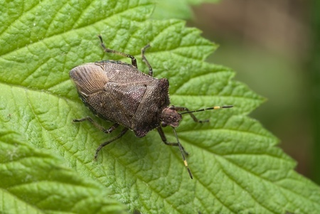 What Are Chinch Bugs?