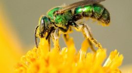 How to Get Rid of Sweat Bees Naturally