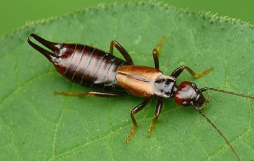 How to Use Essential Oils to Get Rid of Earwigs