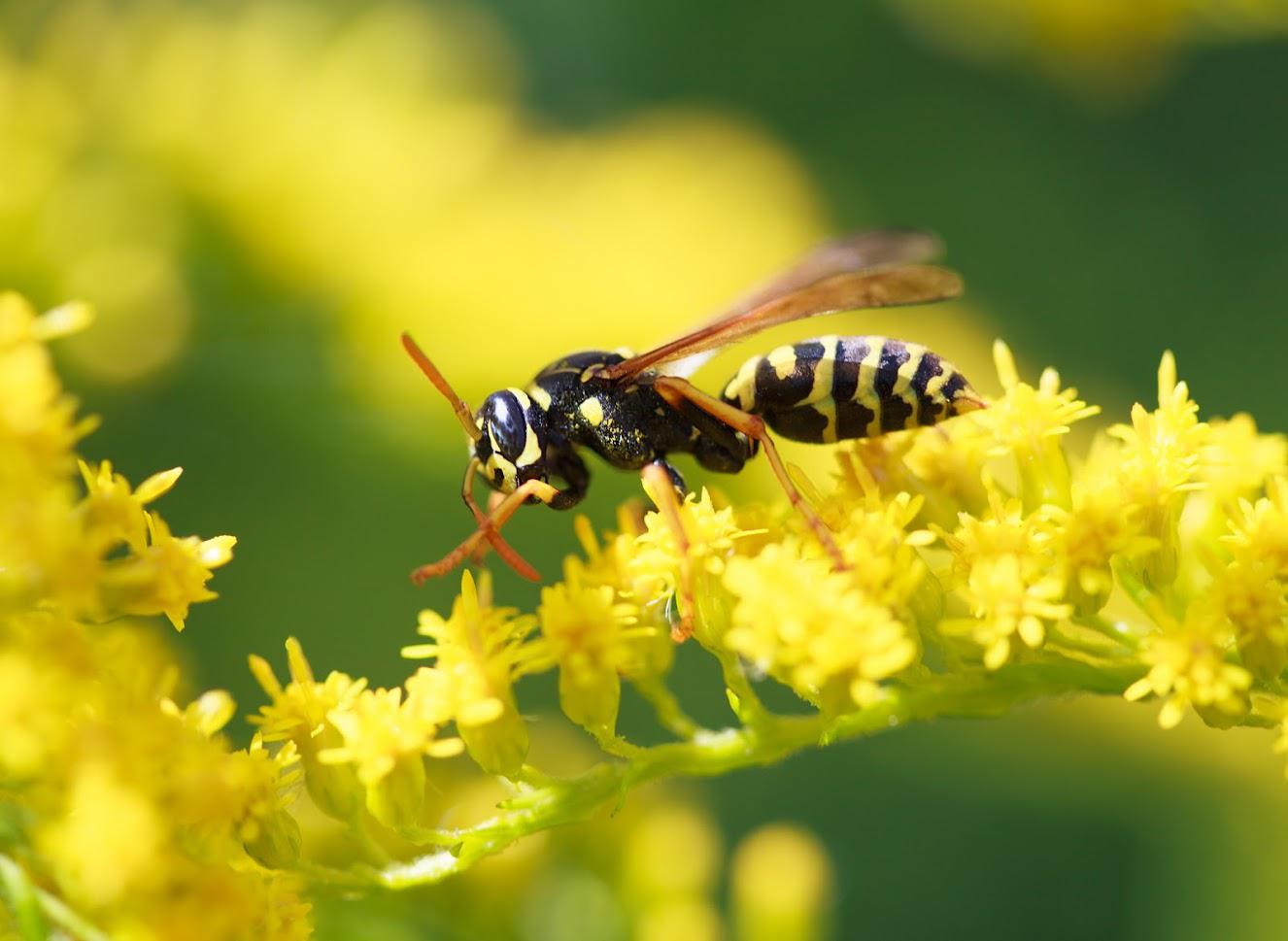 What Scents Repel Wasps