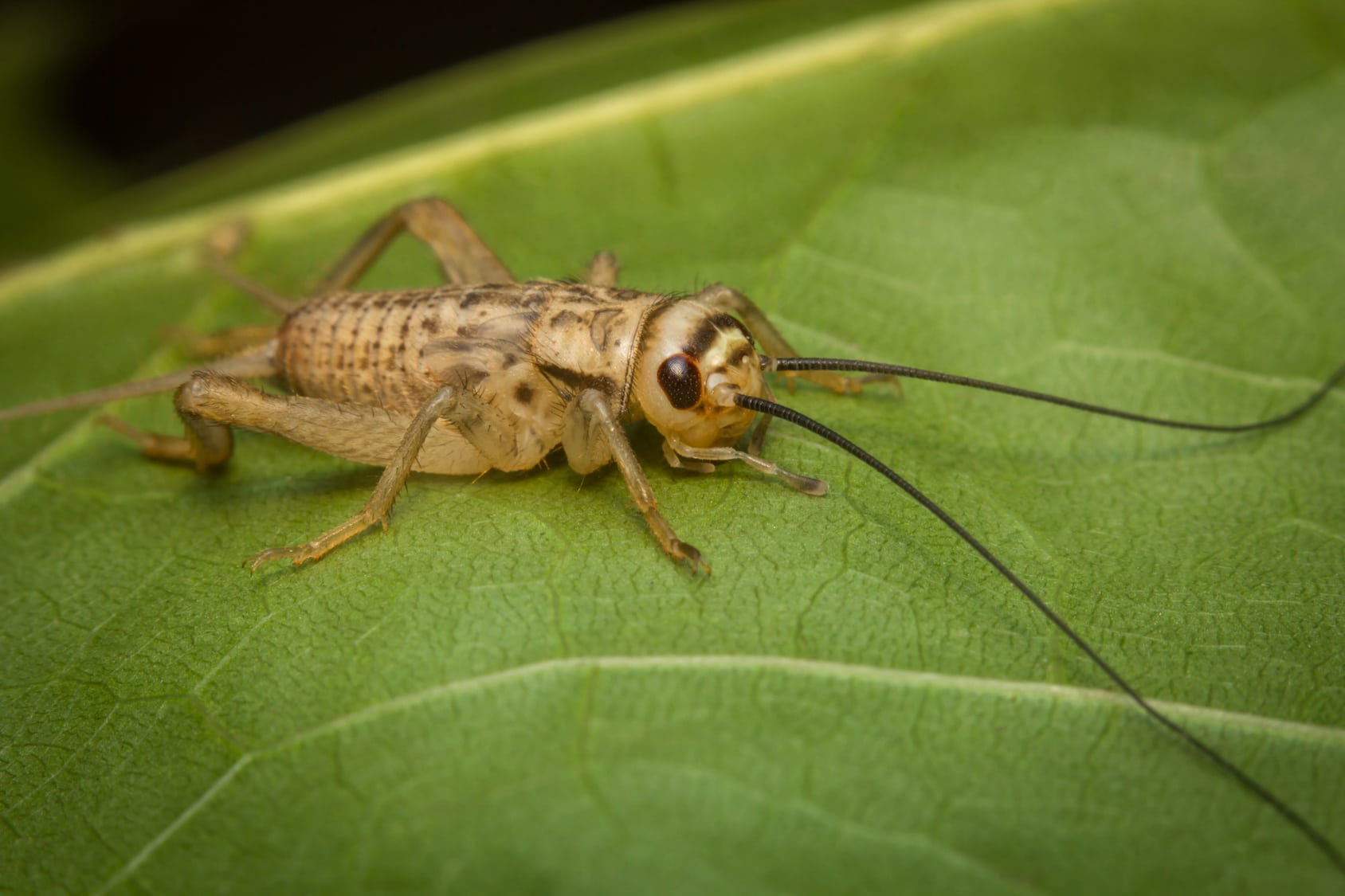 What Sound Does a Cricket Make?