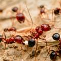 Do Ants Poop?