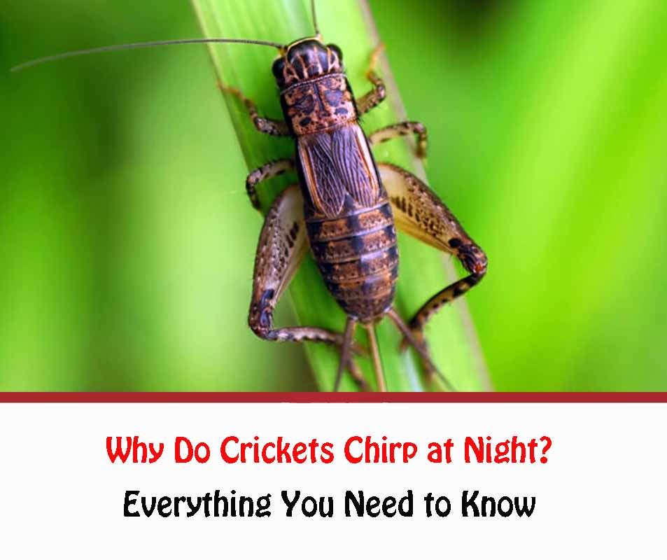 Why Do Crickets Chirp at Night?