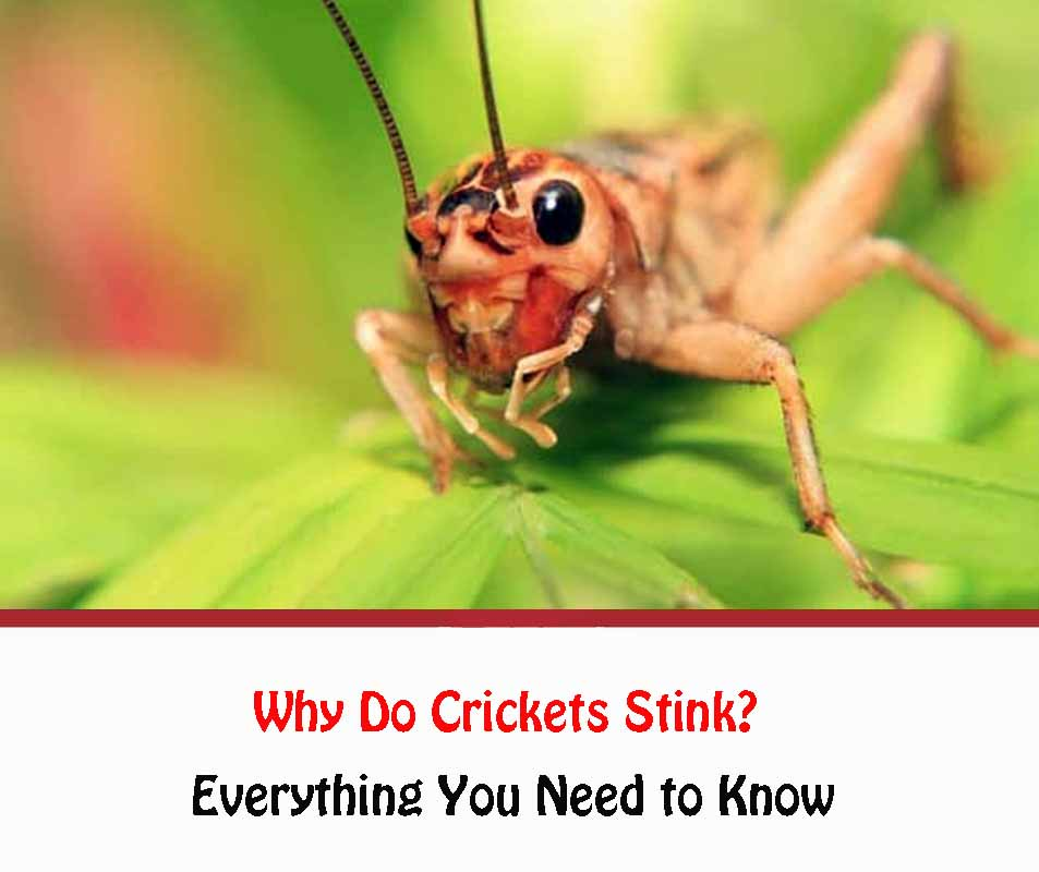 Why Do Crickets Stink?