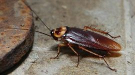 What Animals Eat Cockroaches?