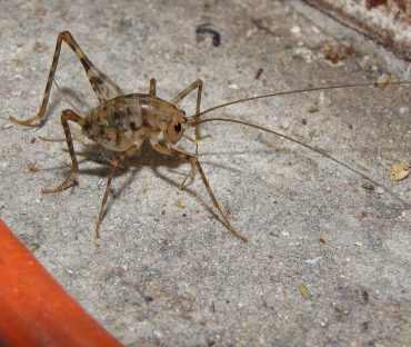 How To Get Rid Of Camel Crickets Naturally