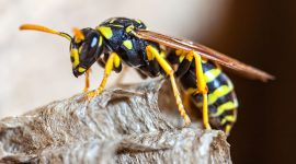 Does Citronella Repel Wasps?