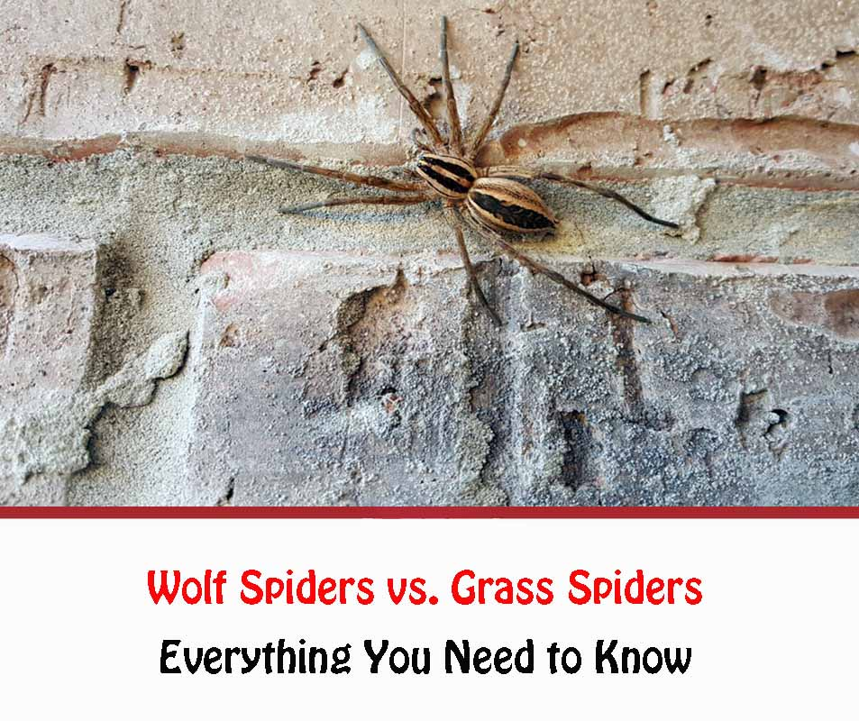 Wolf Spiders vs Grass Spiders
