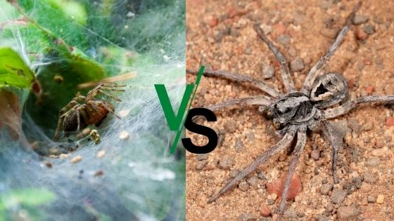 Wolf Spiders vs. Grass Spiders 2021