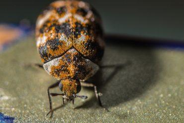 Homemade Carpet Beetle Trap