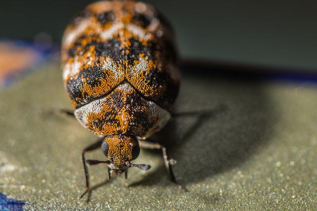 carpet beetles trap