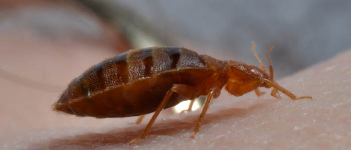 Are Bed Bugs Attracted to Water?