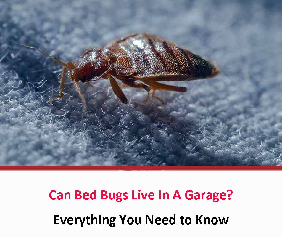 Can Bed Bugs Live In A Garage?