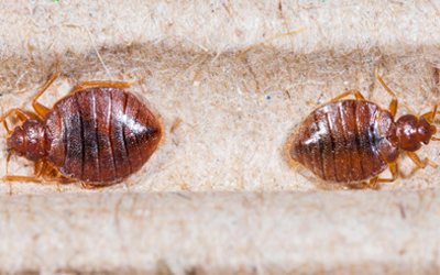 Can Bed Bugs Live In A Microwave?
