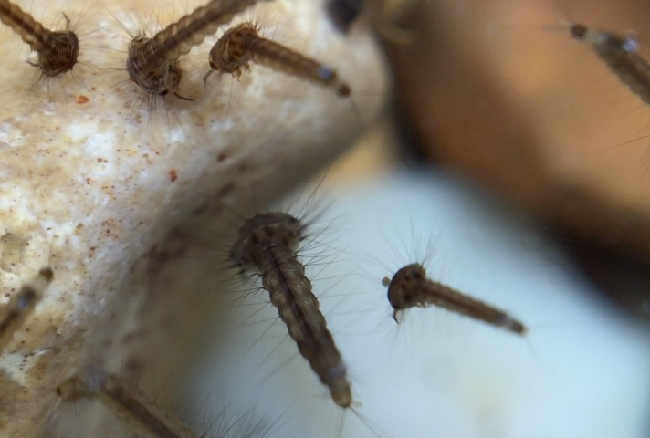 Can Mosquitoes Lay Eggs In Swimming Pools?