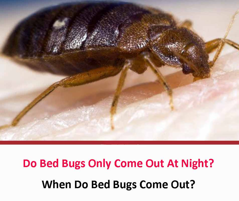 Do Bed Bugs Only Come Out At Night