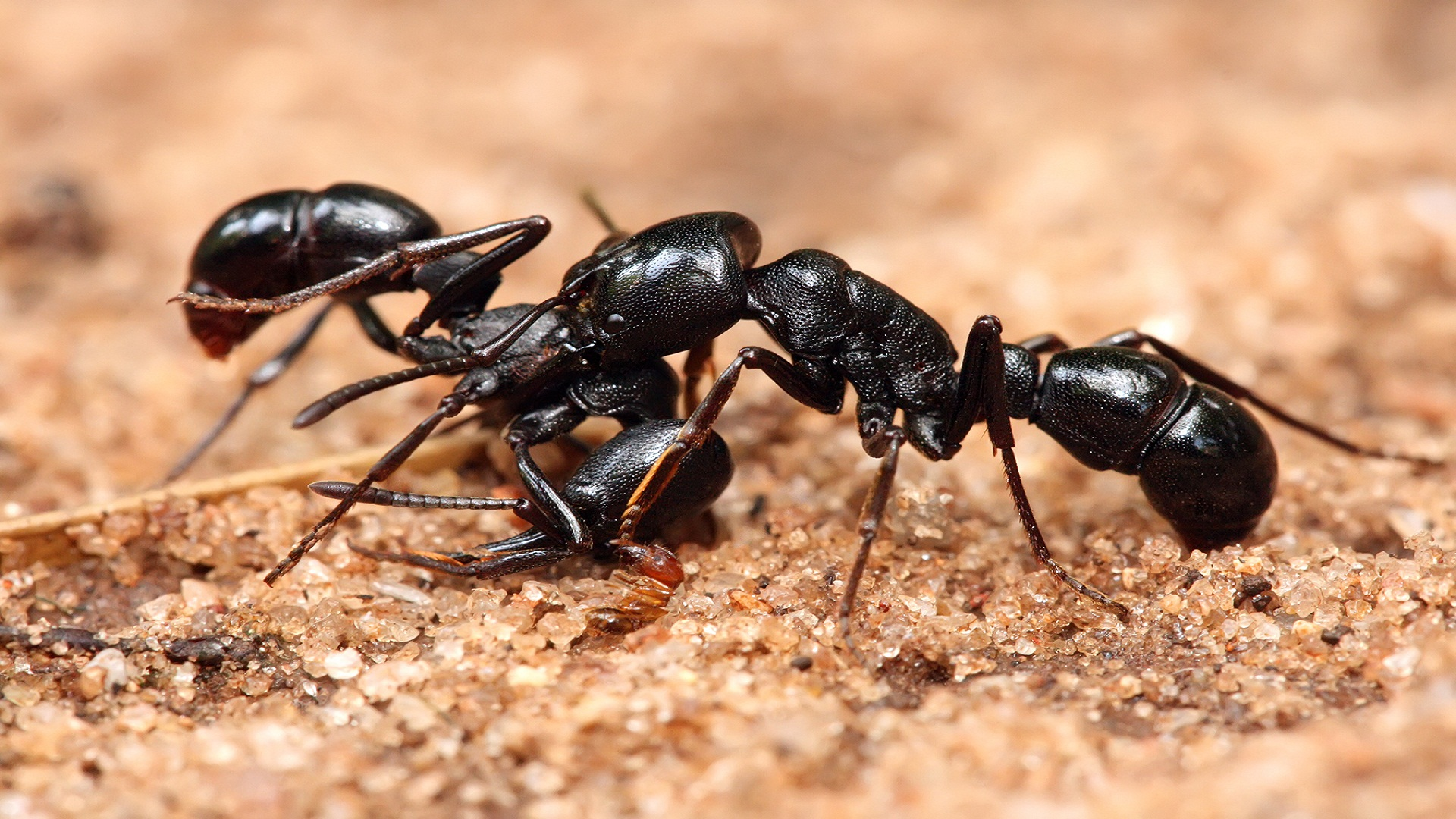 Do House Ants Bite or Sting